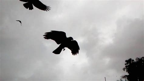 crow fly slow motion youtube