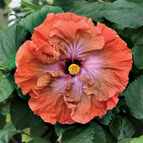 hibiscus tsunami hibiscus rosa sinensis hybrid