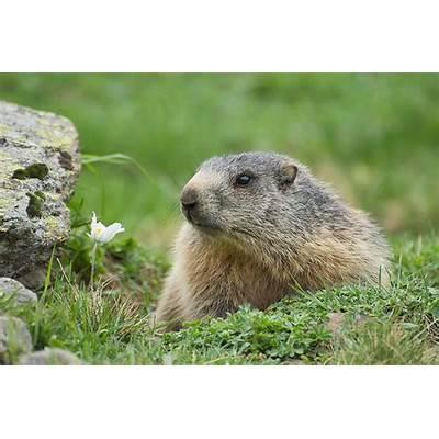 Alpine Marmot (Marmota marmota) – Focusing on Wildlife