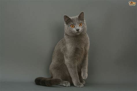 Chartreux Cat Breed Information, Buying Advice, Photos And
