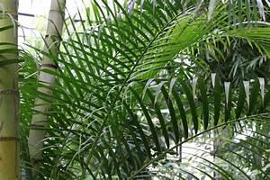 Palme Gelbe Blätter : goldfruchtpalme chrysalidocarpus lutescens pflege ~ Lizthompson.info Haus und Dekorationen