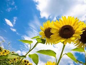 sunflower field wallpaper 2560x1600 3 wallpapers13