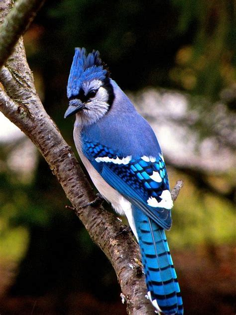 blue jay photo william bergman national geographic shot wild birds photography blue