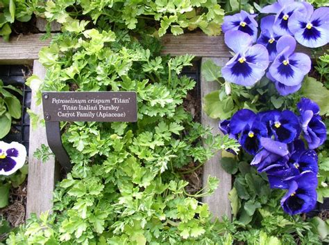 Vertical Garden Chicago by Up Vertical Garden With Pansies And Parsley