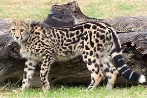 King Cheetah cub | Taronga Western Plains Zoo - Dubbo ...