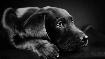 Labrador Dog Background Puppies Retriever Animals Face