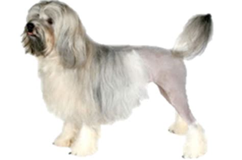 Although this dog may be related to the bichon frise, the löwchen's history remains obscure. Löwchen - Worldly Dogs