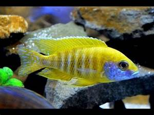 Aulonocara stuartgranti blue neon Undu reef males fig