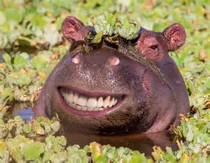 Very Happy Hippo