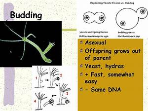Asexual Vs Sexual  Mitosis And Meiosis
