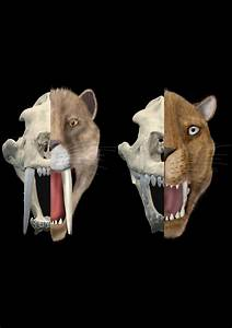 Cat Scans Of Sabertooth Cats U0026 39  Skulls Unearth Evolution Of