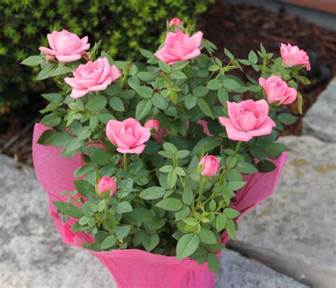 miniature roses mini roses willyfresh plants