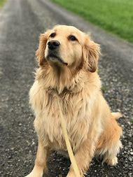Long Haired Golden Retriever