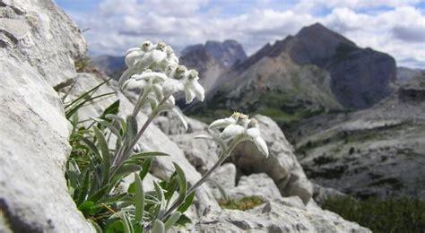Cade Nel Dirupo, Muore Per Vedere Una Stella Alpina