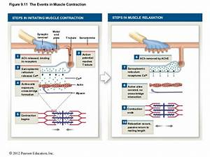 Skeletal Muscle Contraction Steps Diagram images