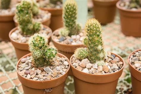 .Group Of Small Cactus Plant In The Pot At Cactus Garden ...