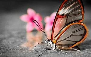 Rare Butterfly - Animal-Lovers Wallpaper