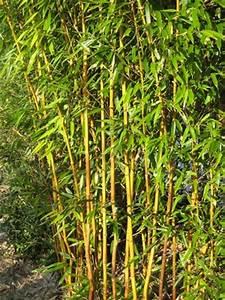 Bambus Als Sichtschutz Im Kübel : bambus vom limhorn ~ Frokenaadalensverden.com Haus und Dekorationen