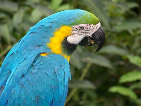 macaw parrot indian parrot wallpaper funny animal