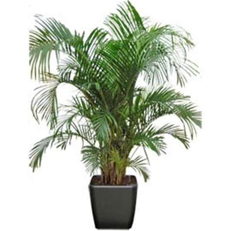 plantes de bureau sans soleil areca plante naturelle stabilisée sans entretien sans