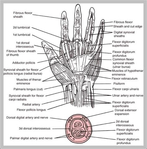 This small muscle is located at the top of the shoulder and helps raise the arm away from the body. hand wrist - Graph Diagram