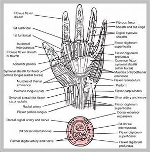 Hand Anatomy  U2013 Graph Diagram
