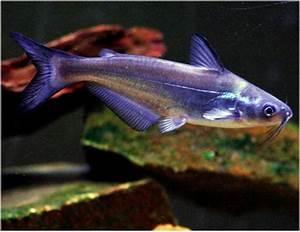 Blue Channel Catfish  - Arizona Aquatic Gardens
