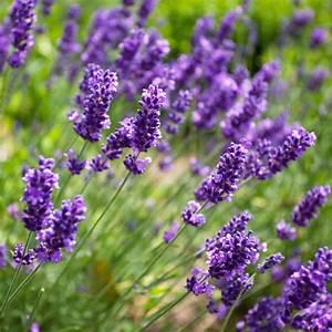 Prix De La Lavande : lavande officinale plantes et jardins ~ Premium-room.com Idées de Décoration
