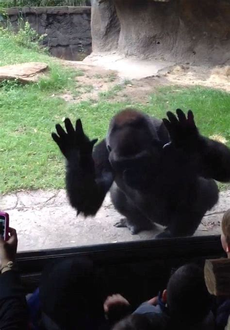 angry gorilla  revenge  taunting kids  dallas zoo