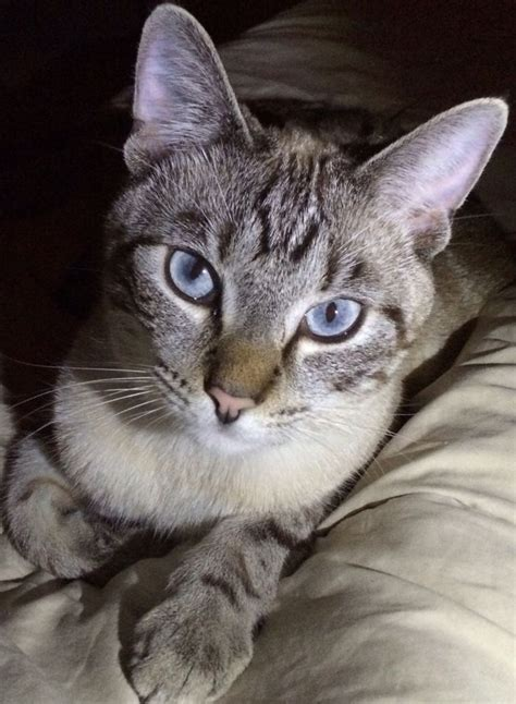 bred si鑒e social blue lynx point siamese cat pixshark com images galleries with a bite