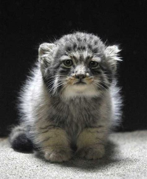Pallas's Cat « Why Evolution Is True