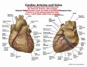 Know Ur Heart  The Coronary Circulation
