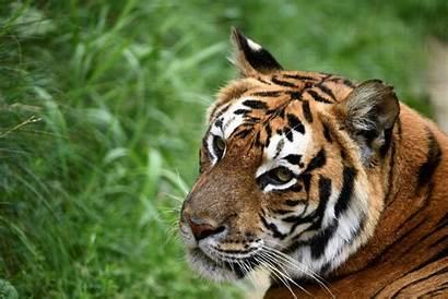 Tiger King Exotic Joe Animal Tigers Park