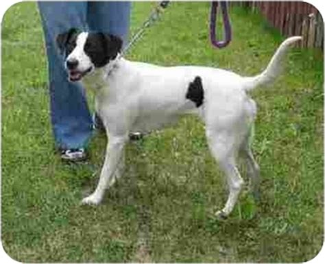 border collie terrier mix shedding american water spaniel information and pictures american