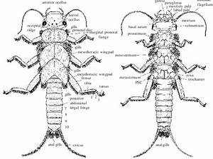 Morphology Of Typical Stonefly Nymph  U2013 Family Perlidae  A