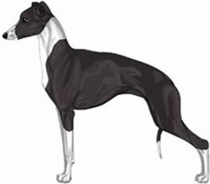 Italian Greyhound Colors