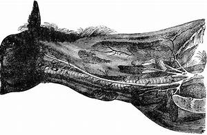 Neck Of A Horse Showing Arteries