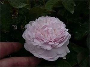 Alte Rosensorten Stark Duftend : rosensorten duftrosen gran grand award grand duc ~ Michelbontemps.com Haus und Dekorationen
