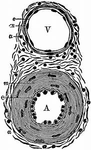Diagram Of An Artery And A Vein