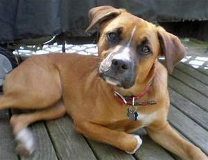 Boxer & Beagle Mix (A.K.A. boggle dog) – breed info ...