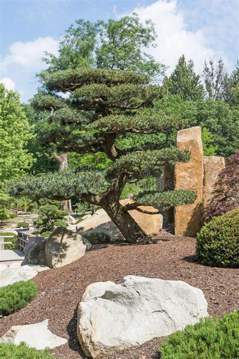 Kiefern Im Garten by Kiefer Im Japanischen Garten Stockbild Bild