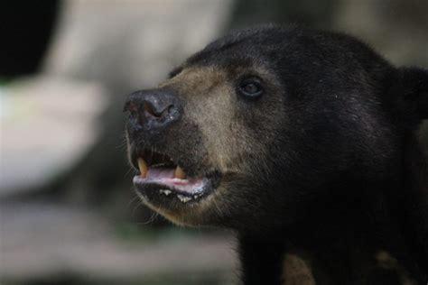 suara   selamatkan beruang madu balikpapan