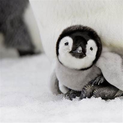 Animals Penguins Penguin Cutest Adorable Ever Wild