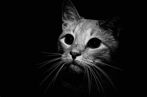 Background Black Cat by Cat Black Background Hd Wallpaper 34135 Baltana