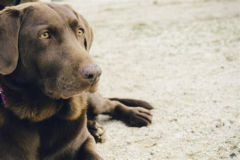 labrador welpen braun wichtige punkte die sie beachten