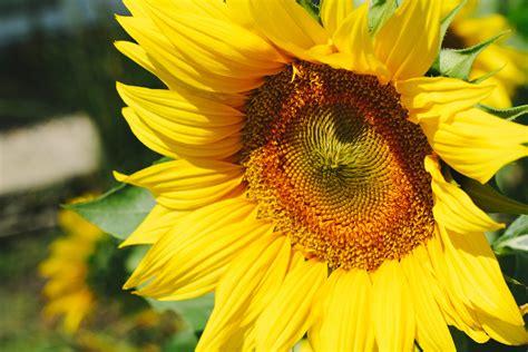 sunflower  sunset  stock photo