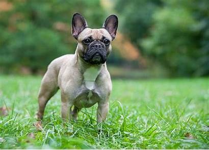 French Silver Bulldogs Gold Health Bronze Certification