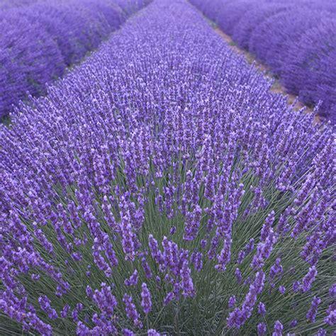 lavender plant height buy lavender lavandula angustifolia munstead