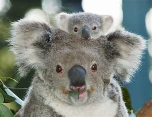 "Koala ""Bears"" Aren't Really Bears At All! 