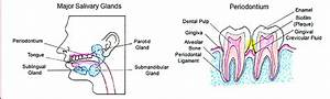 The Major Salivary Glands And The Periodontium